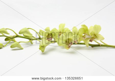 Green white waxy Orchid Flowers on white background