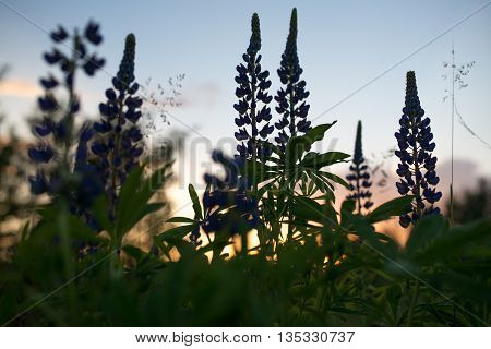 flowers and leaves of larkspur, delphinium on a background of the evening sky.