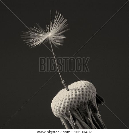 Some dandelion seeds fly away