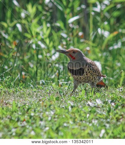 a north american flicker eating ants with many of the crawling on its feathers in a local park