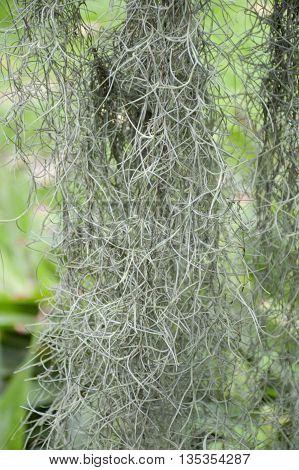 close up Tillandsia usneoides plants in nature garden