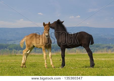 Two cute brown and black foal is playing on the floral meadow