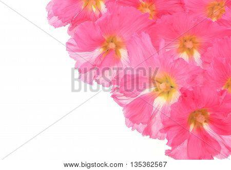 Beautiful decorating hollyhock flowers /Althaea officinalis/isolated white background