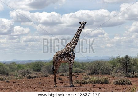 African giraffe  in the bush of the savannah in Tarangire National Park, Tanzania.