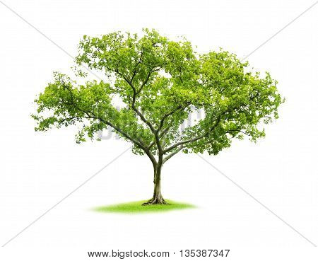 Single tree on white isolate background with clipping path,The nature of tree with clipping path,clipping mask,The single tree with clipping path.
