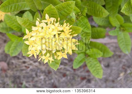 Yellow Flower spike, Rubiaceae in a garden, flower, love, women, Life is the flower for which love is the honey. (select focus front Yellow Flower spike and soft-focus background)