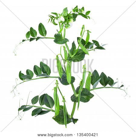 Sprig of pea with flowers and pods isolated on a white background. Pea with leaves flowers and tendril on branch isolated on white