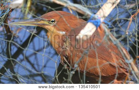 male Cinnamon Bittern caught in Thai fish trap, swamp near Songkhla, Thailand