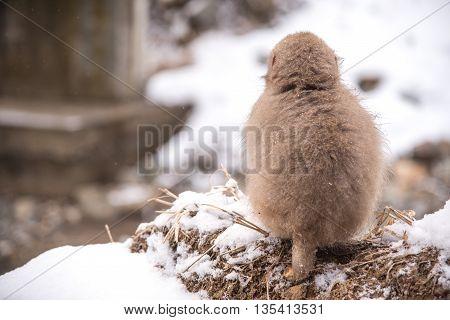 Snow Monkey At Jigokudani Park