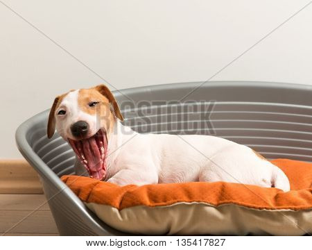 Yawn. Jack Russell Terrier Lying On Dog Bed