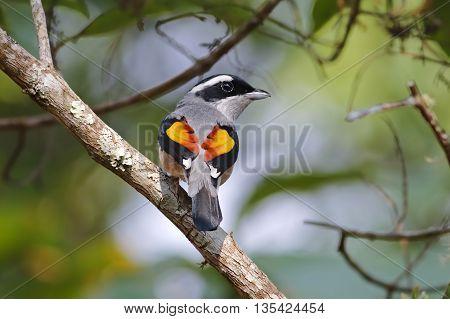 Blyth's Shrike-babbler Pteruthius aeralatus Male Birds of Thailand