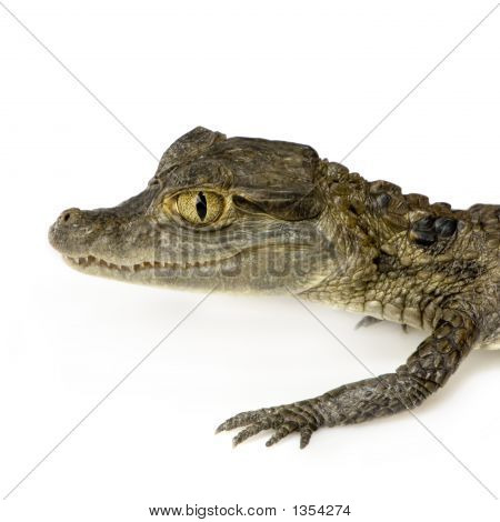 young spectacled caiman devant un fond blanc poster