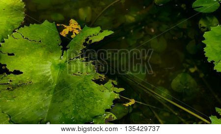 close up green lotus leaf in the swamp