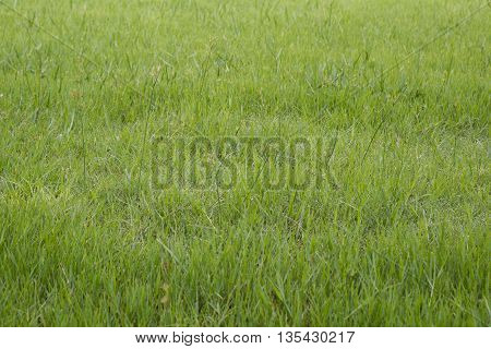 green grass with a dew  in background