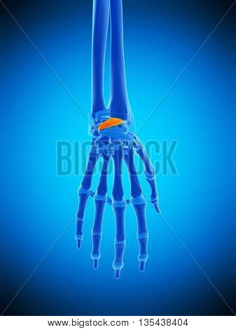 3d rendered, medically accurate illustration of the dorsal radiocarpal ligaments