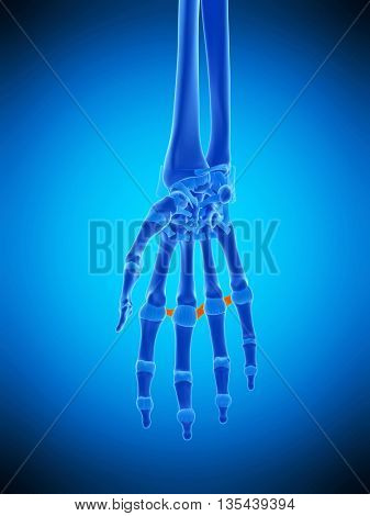 3d rendered, medically accurate illustration of the metacarpal ligaments