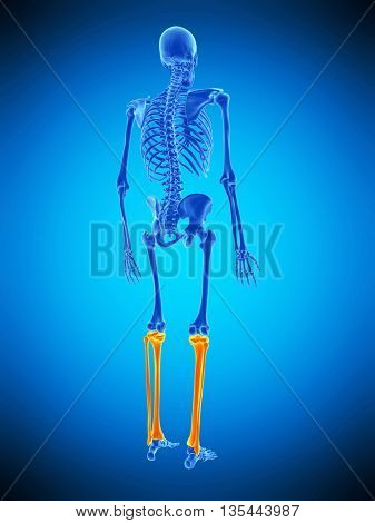3d rendered, medically accurate illustration of the skeletal lower legs