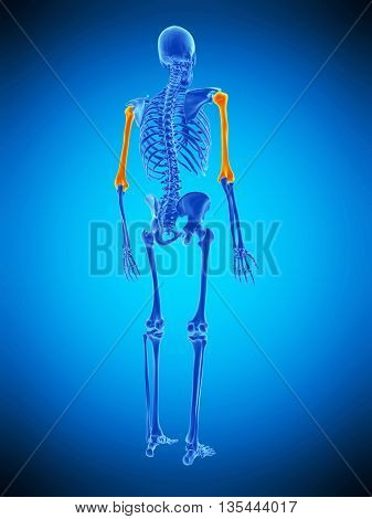 3d rendered, medically accurate illustration of the humerus