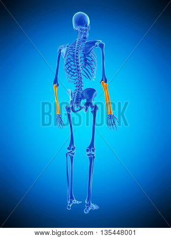 3d rendered, medically accurate illustration of the skeletal lower arms