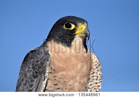 Peregrine falcon with closeup against blue sky