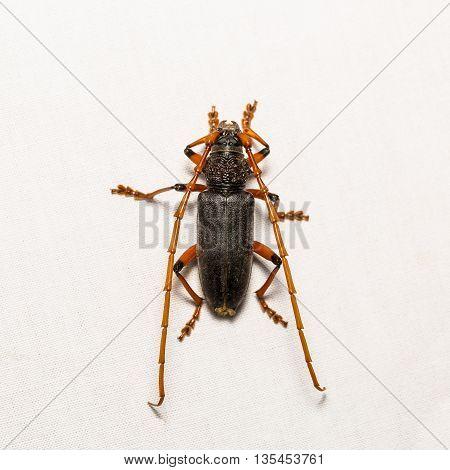 Long-horned Beetle Or Mango Bark Borer Beetle