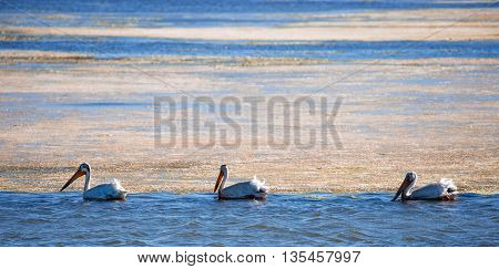 White American Pelicans (Pelecanus erythrorhynchos) wading in mossy bay poster
