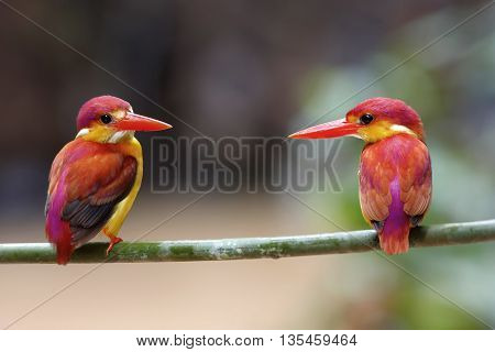 Rufous-backed Kingfisher Ceyx rufidorsus Male and Female