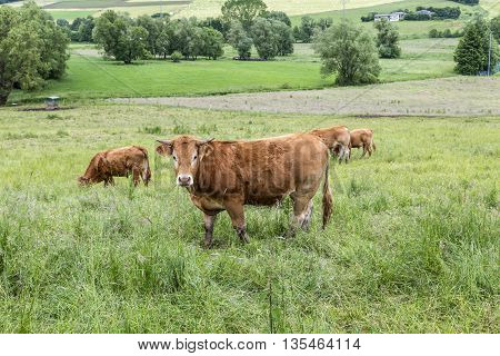 Brown Cow Walking On The Green Meadow
