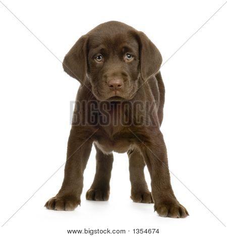 Labrador-Apportierhund