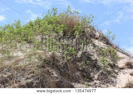 Sand Dunes in spring with marram grass at Ludington State Park in Michigan