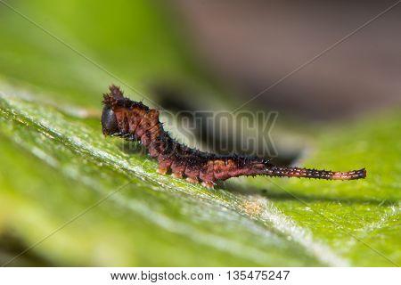 Sallow kitten moth (Furcula furcula) early instar caterpillar. Young larva of moth in the family Notodontidae on Salix the foodplant