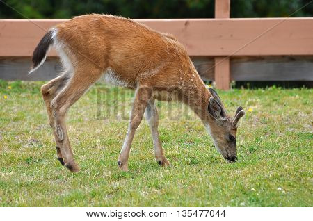 A close-up of young male black-tailed deer with velvet covered budding antlers, grazing in a city neighborhood.