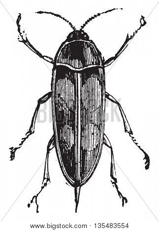 Tumbling Flower Beetle or Pintail Beetle or Mordella spp. From Domestic Life, vintage engraving, 1880.