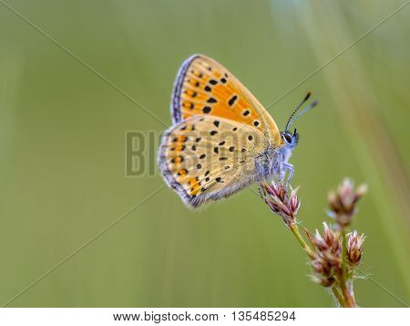 Sooty Copper Butterfly On Rush