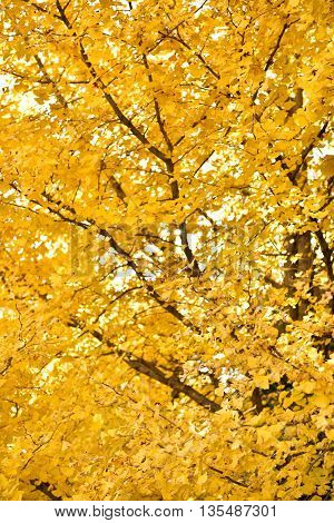 golden ginko tree in autumn in Japan