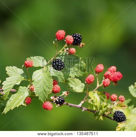 Group of ripe and ripening wild blackberries outdoors