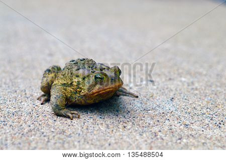 Fat happy toad sitting on the cement