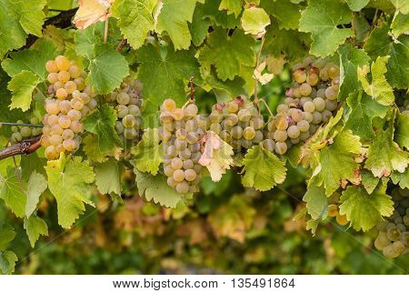 ripening Sauvignon Blanc grapes on vine in vineyard