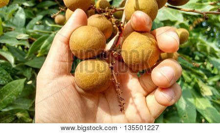 Longan Bunch (Dimocarpus longan). A bunch of Longan fresh and unpeeled held by white woman's hand in front of natural tree background.