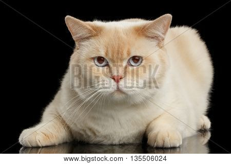 Close-up Blue eyed British Shorthair Cat Lying and Looking in Camera, Isolated Black Background, Front view