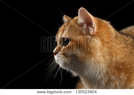 Close-up Head of British Cat Gold Chinchilla in Profile, Isolated Black Background, side view