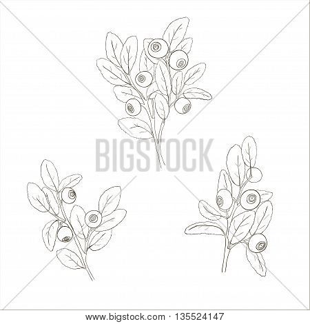Set of isolated blueberry twigs with leaves. Blueberries painted black lines and filled with white. Vector illustration