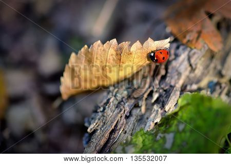 Ladybug on a golden leaf in autumn enviroment