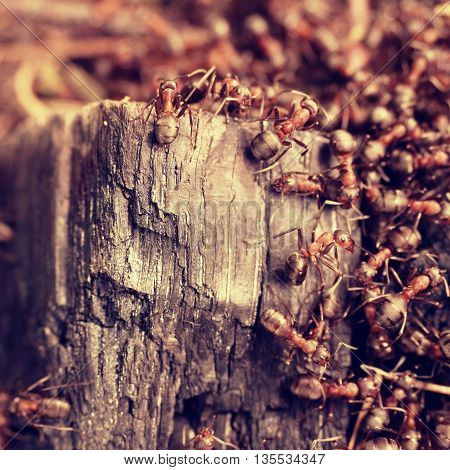 Wood In Middle Of Wild Ants Build Their Anthill. Ant Family