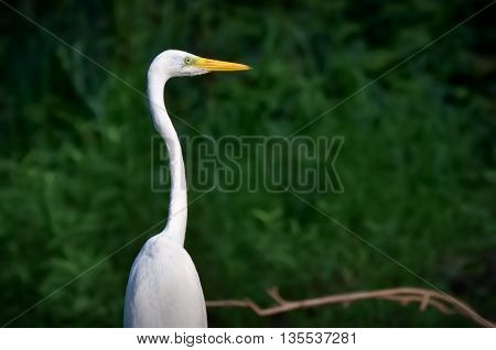 The Great Egret, Ardea alba, Common Egret, Large Egret, Great White Heron