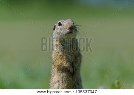 Funny gopher in two feet in green field