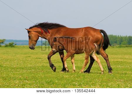 Sorrel horse and foal trot on the floral meadow