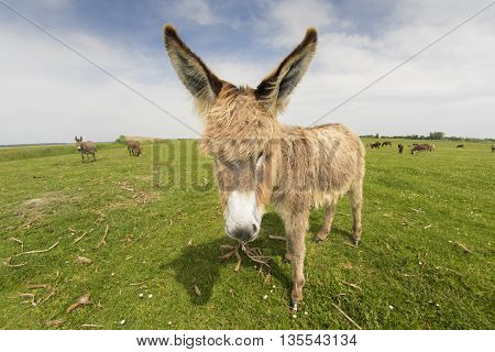 Portrait of hairy funny donkey on the meadow