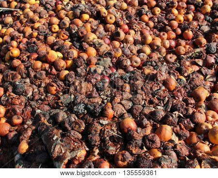 Picture of a Rotten apples . pollution concept
