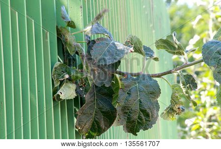 apple leaves peering trought green metal fence looking for sun. narrow dept of field focuc